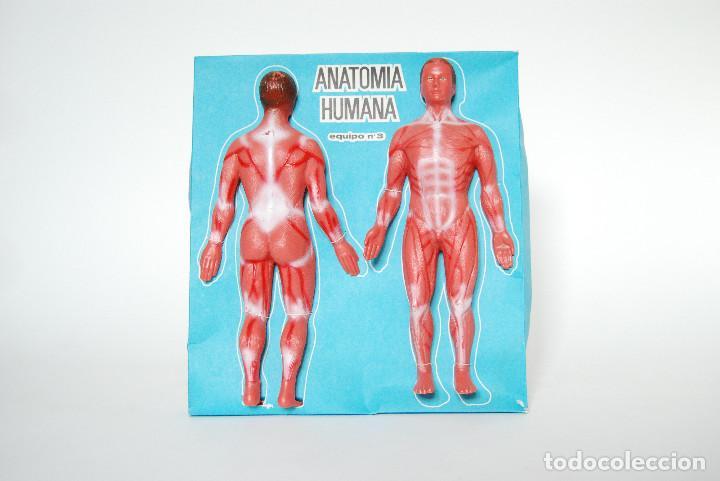 modelo de anatomía humana - Comprar en todocoleccion - 74752379
