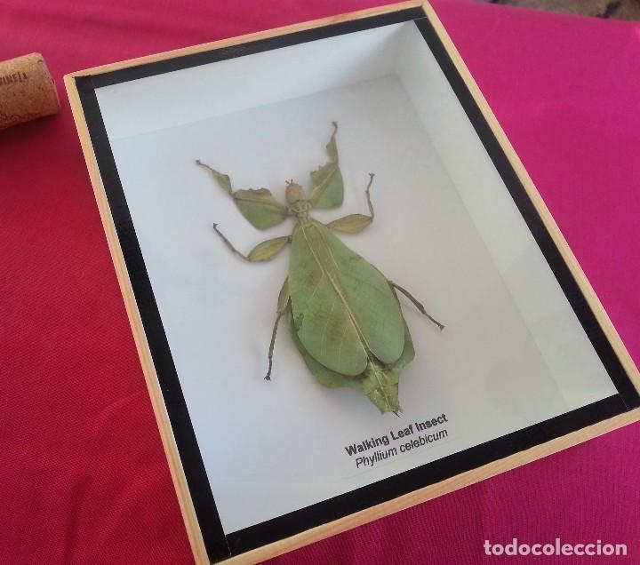 insectos hoja disecado. macho. en vitrina. phyl - Comprar en ...