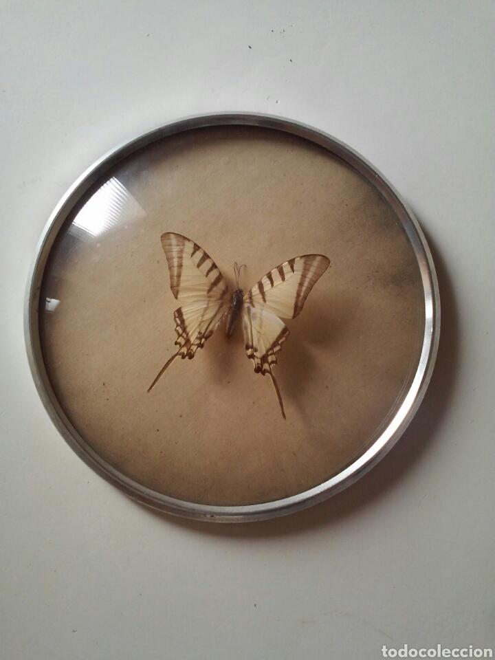 mariposa disecada enmarcada vintage - Comprar en todocoleccion ...