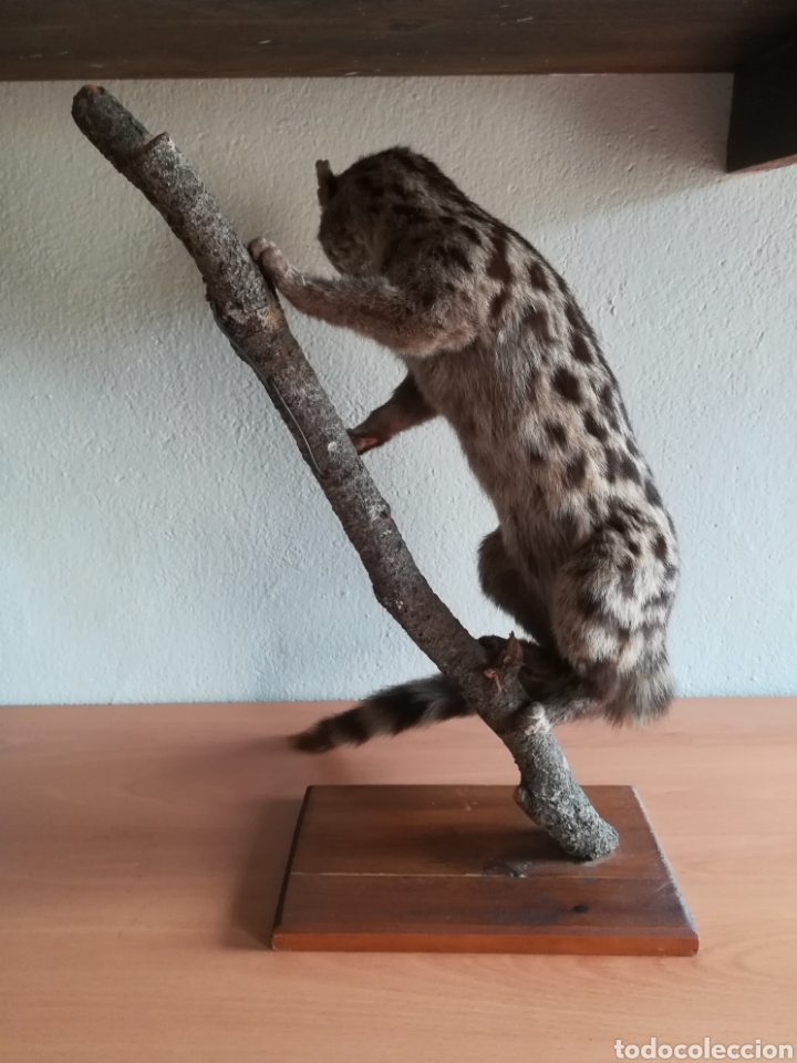 Vintage: Gineta disecada - jineta gato almizclero caza Taxidermia Sant Cugat decoración vintage cazador - Foto 3 - 155622372