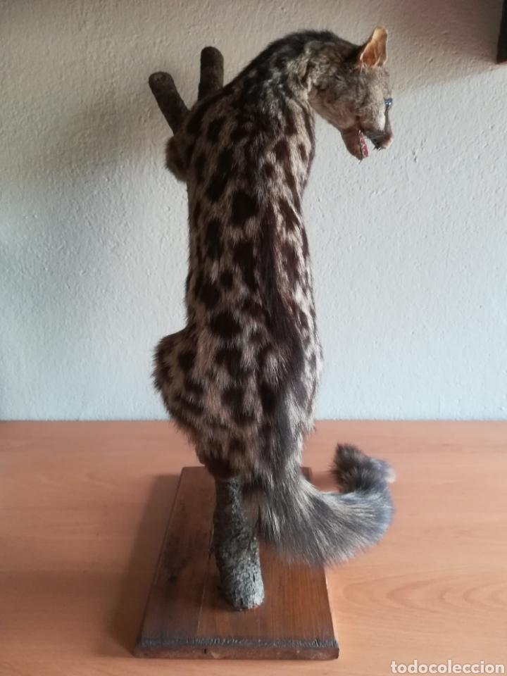 Vintage: Gineta disecada - jineta gato almizclero caza Taxidermia Sant Cugat decoración vintage cazador - Foto 5 - 155622372