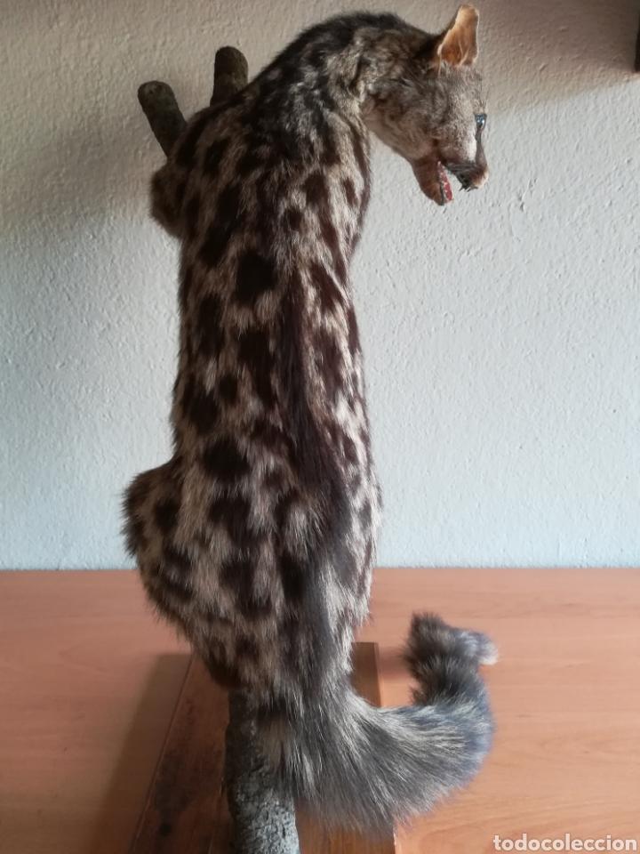 Vintage: Gineta disecada - jineta gato almizclero caza Taxidermia Sant Cugat decoración vintage cazador - Foto 6 - 155622372