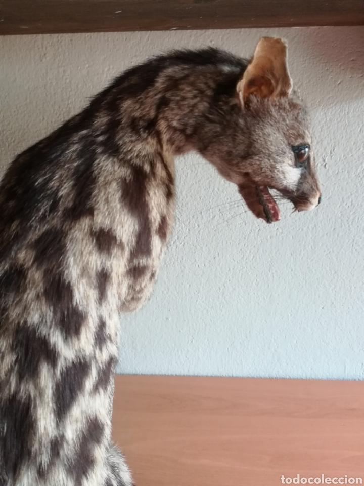Vintage: Gineta disecada - jineta gato almizclero caza Taxidermia Sant Cugat decoración vintage cazador - Foto 7 - 155622372