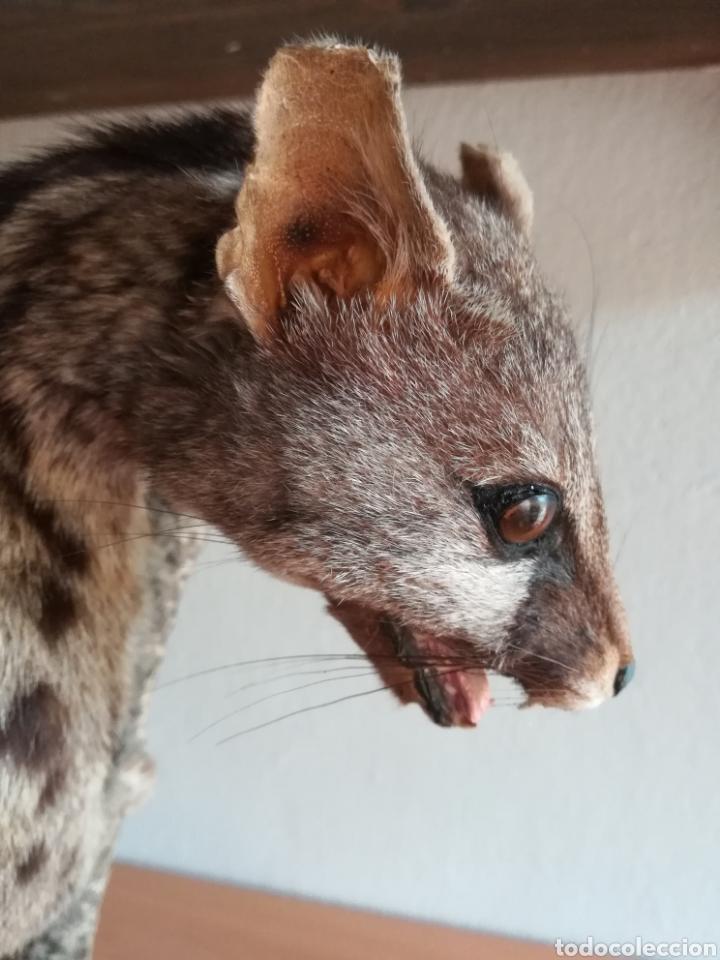 Vintage: Gineta disecada - jineta gato almizclero caza Taxidermia Sant Cugat decoración vintage cazador - Foto 8 - 155622372