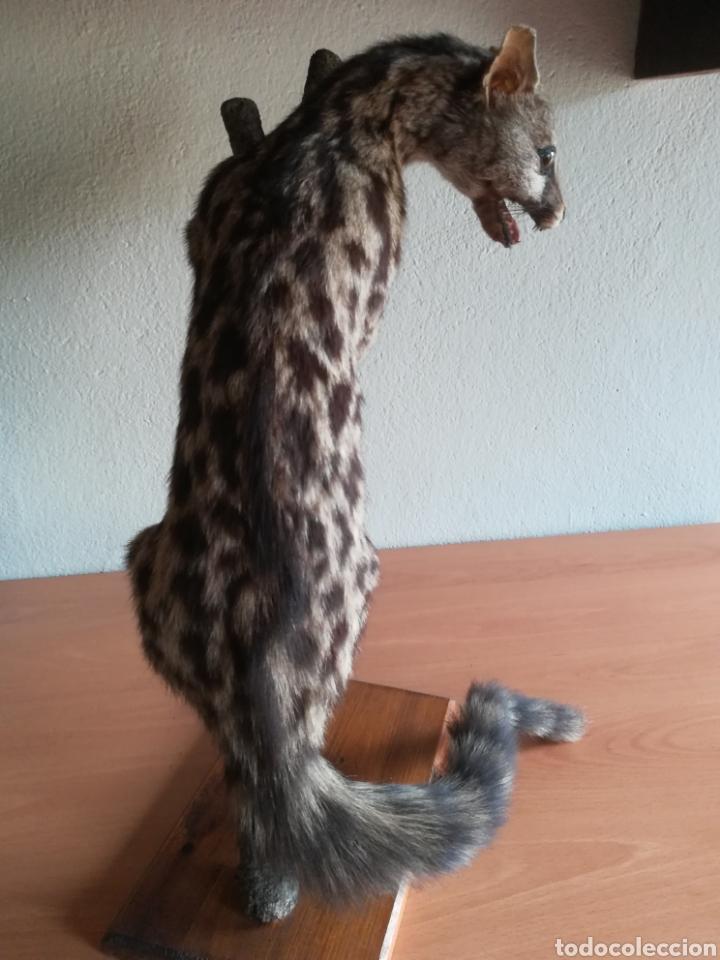 Vintage: Gineta disecada - jineta gato almizclero caza Taxidermia Sant Cugat decoración vintage cazador - Foto 9 - 155622372