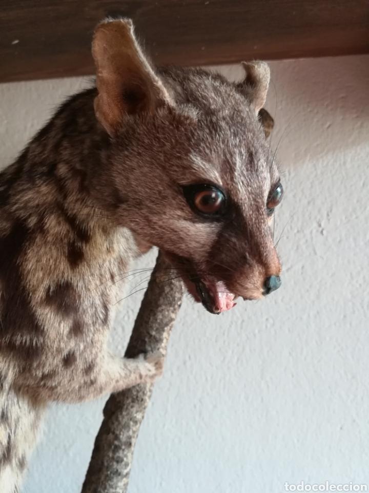 Vintage: Gineta disecada - jineta gato almizclero caza Taxidermia Sant Cugat decoración vintage cazador - Foto 10 - 155622372
