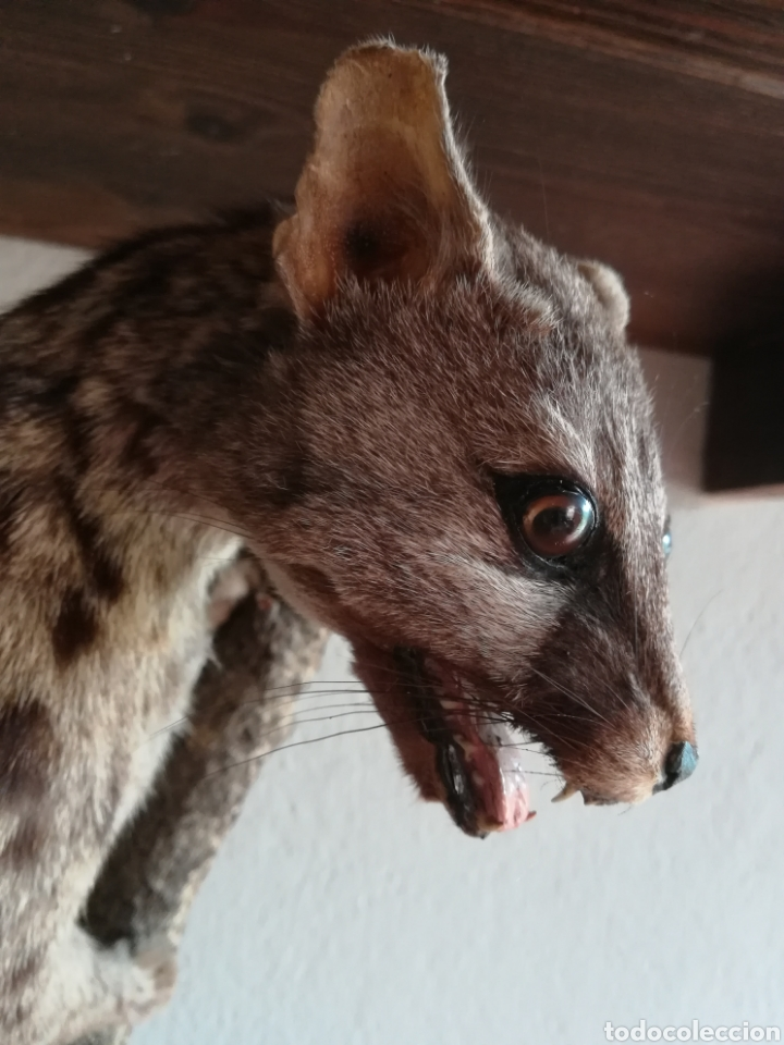 Vintage: Gineta disecada - jineta gato almizclero caza Taxidermia Sant Cugat decoración vintage cazador - Foto 11 - 155622372