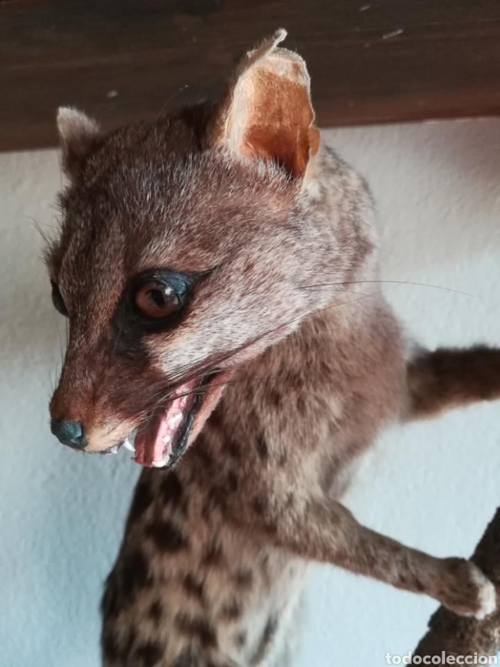 Vintage: Gineta disecada - jineta gato almizclero caza Taxidermia Sant Cugat decoración vintage cazador - Foto 12 - 155622372