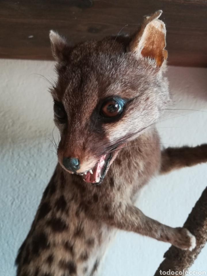 Vintage: Gineta disecada - jineta gato almizclero caza Taxidermia Sant Cugat decoración vintage cazador - Foto 13 - 155622372