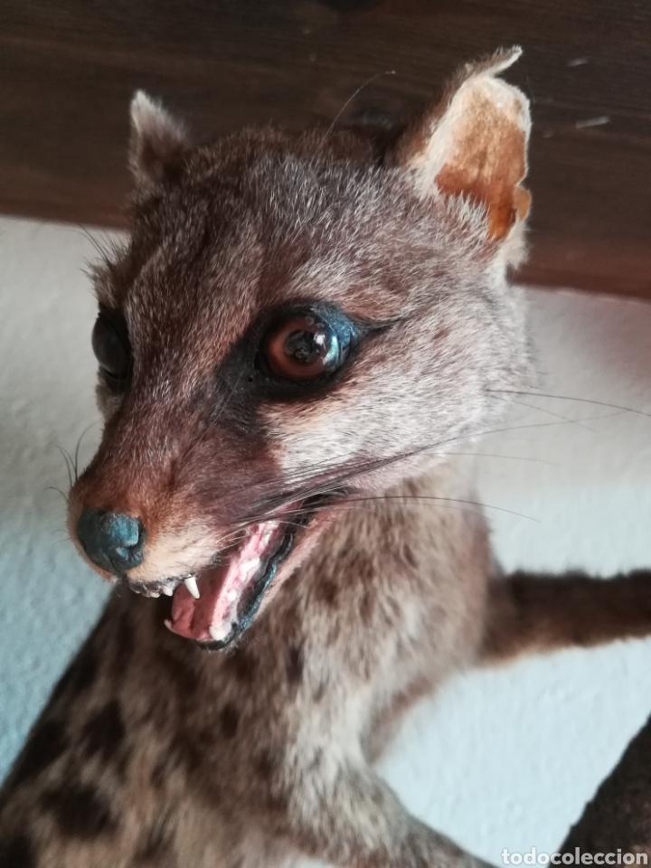 Vintage: Gineta disecada - jineta gato almizclero caza Taxidermia Sant Cugat decoración vintage cazador - Foto 14 - 155622372