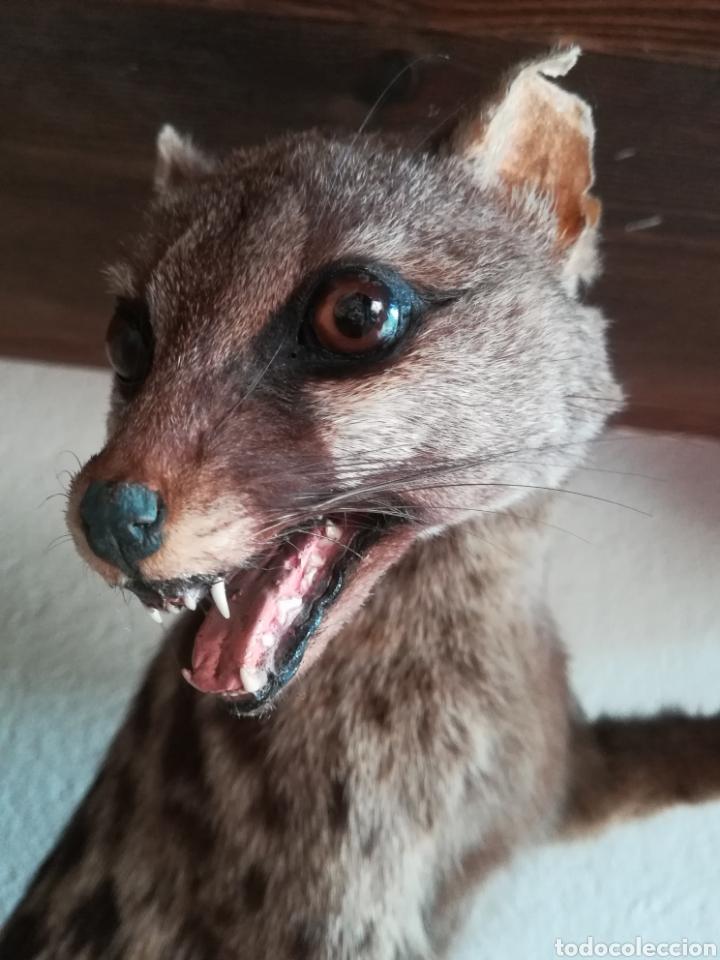 Vintage: Gineta disecada - jineta gato almizclero caza Taxidermia Sant Cugat decoración vintage cazador - Foto 15 - 155622372