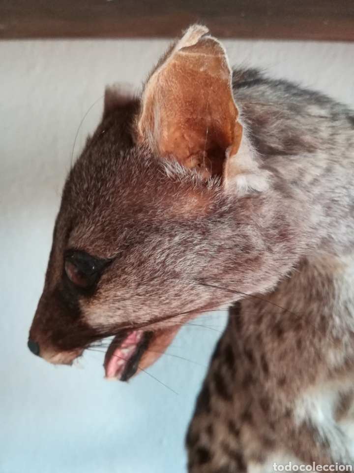 Vintage: Gineta disecada - jineta gato almizclero caza Taxidermia Sant Cugat decoración vintage cazador - Foto 16 - 155622372