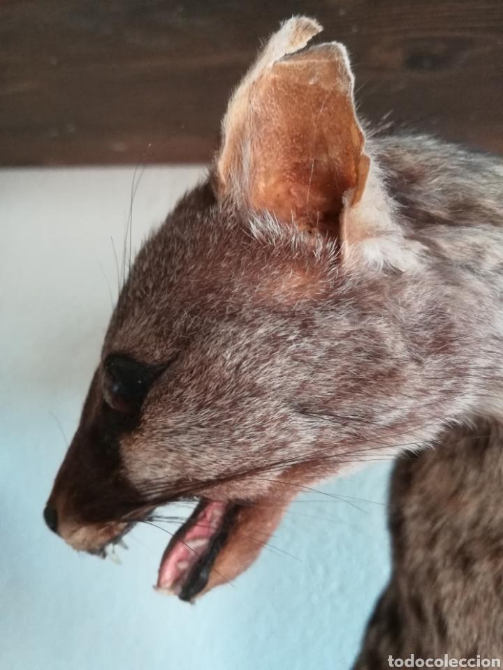 Vintage: Gineta disecada - jineta gato almizclero caza Taxidermia Sant Cugat decoración vintage cazador - Foto 17 - 155622372