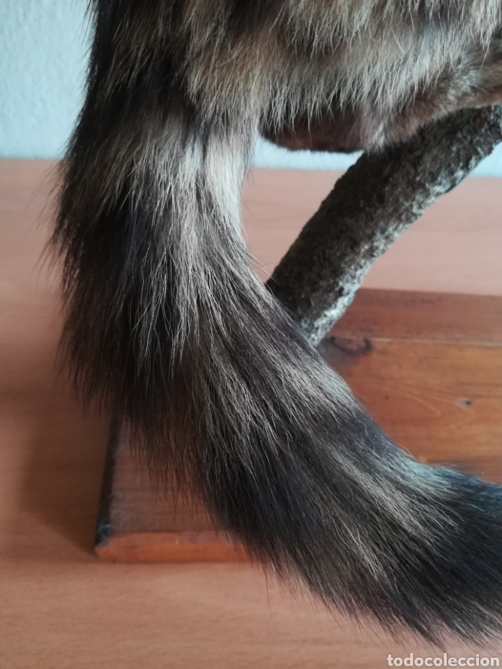 Vintage: Gineta disecada - jineta gato almizclero caza Taxidermia Sant Cugat decoración vintage cazador - Foto 20 - 155622372