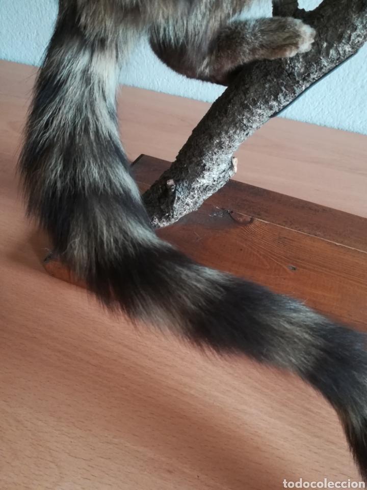 Vintage: Gineta disecada - jineta gato almizclero caza Taxidermia Sant Cugat decoración vintage cazador - Foto 21 - 155622372