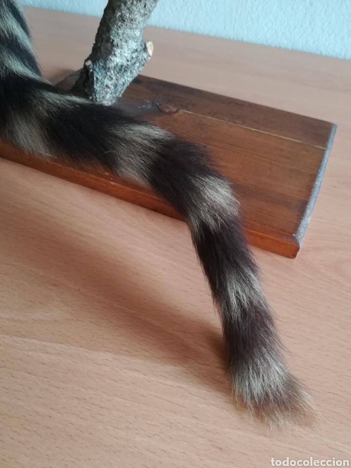 Vintage: Gineta disecada - jineta gato almizclero caza Taxidermia Sant Cugat decoración vintage cazador - Foto 22 - 155622372