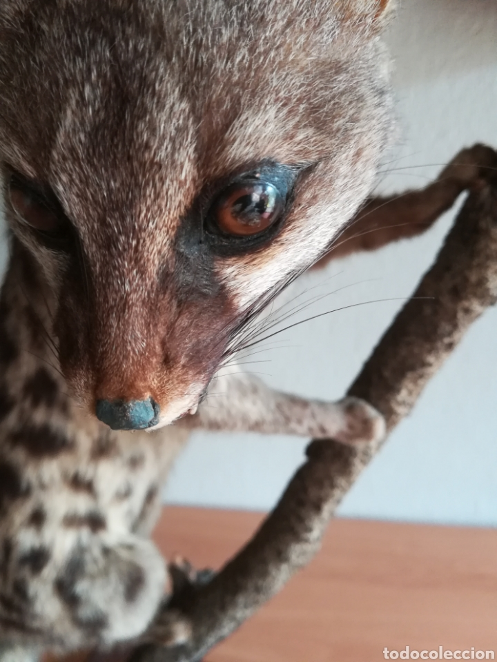 Vintage: Gineta disecada - jineta gato almizclero caza Taxidermia Sant Cugat decoración vintage cazador - Foto 23 - 155622372