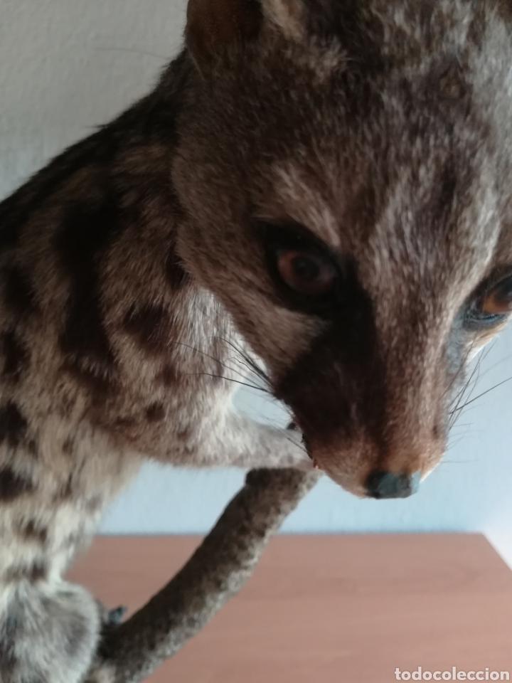 Vintage: Gineta disecada - jineta gato almizclero caza Taxidermia Sant Cugat decoración vintage cazador - Foto 24 - 155622372