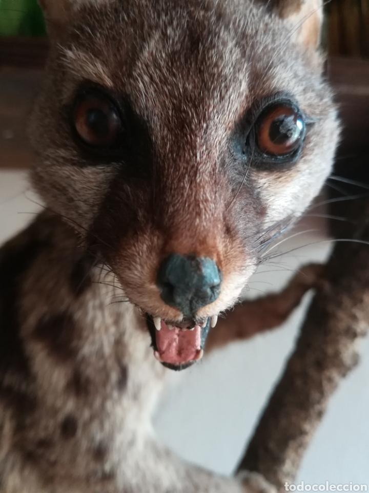 Vintage: Gineta disecada - jineta gato almizclero caza Taxidermia Sant Cugat decoración vintage cazador - Foto 25 - 155622372