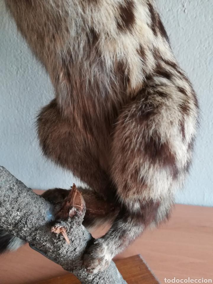 Vintage: Gineta disecada - jineta gato almizclero caza Taxidermia Sant Cugat decoración vintage cazador - Foto 30 - 155622372