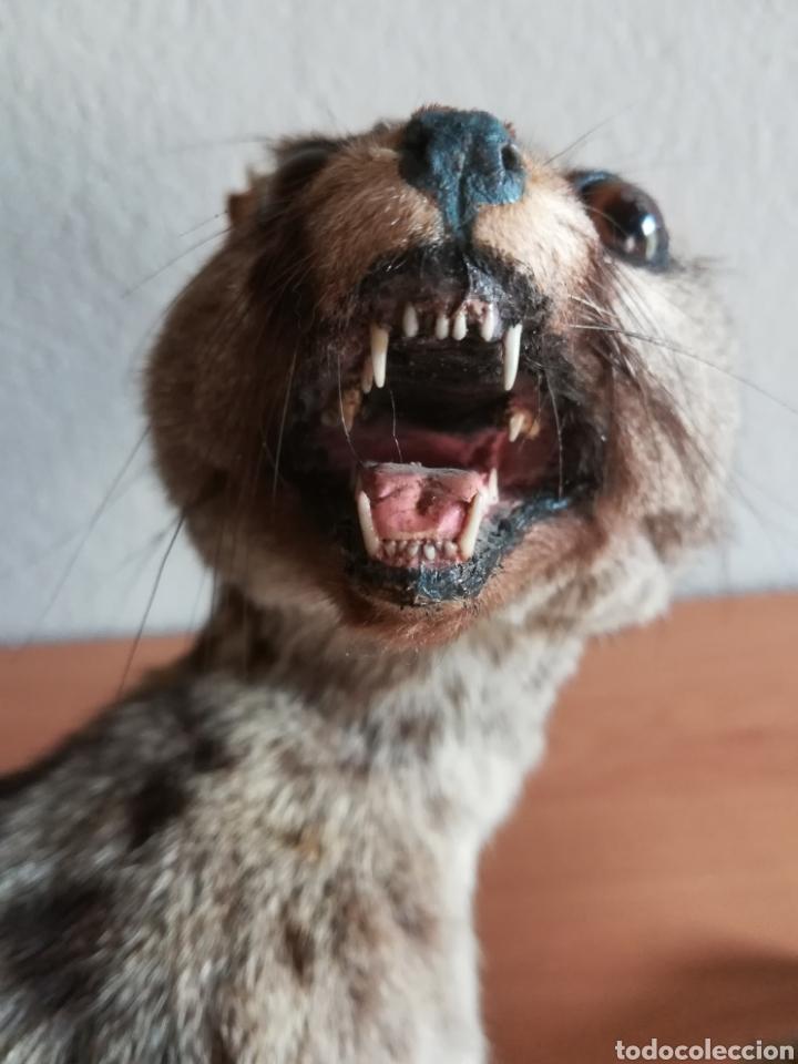 Vintage: Gineta disecada - jineta gato almizclero caza Taxidermia Sant Cugat decoración vintage cazador - Foto 33 - 155622372