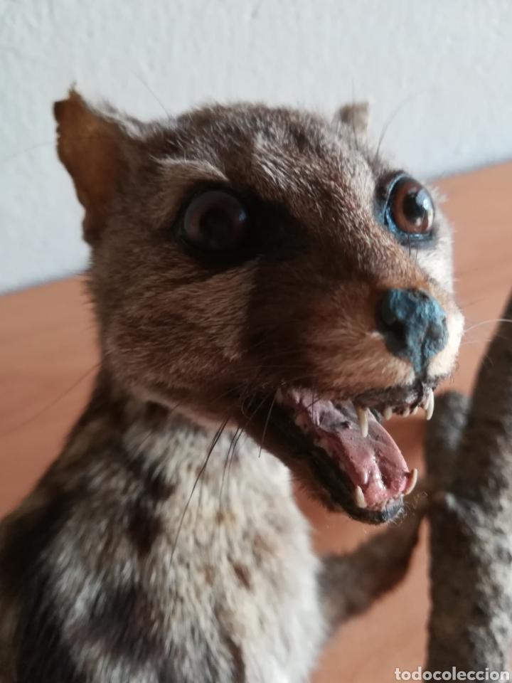 Vintage: Gineta disecada - jineta gato almizclero caza Taxidermia Sant Cugat decoración vintage cazador - Foto 34 - 155622372
