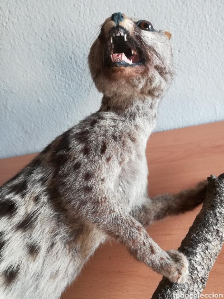 Vintage: Gineta disecada - jineta gato almizclero caza Taxidermia Sant Cugat decoración vintage cazador - Foto 35 - 155622372