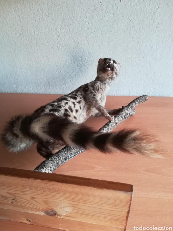Vintage: Gineta disecada - jineta gato almizclero caza Taxidermia Sant Cugat decoración vintage cazador - Foto 37 - 155622372