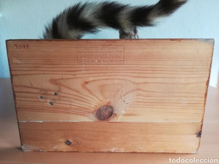 Vintage: Gineta disecada - jineta gato almizclero caza Taxidermia Sant Cugat decoración vintage cazador - Foto 38 - 155622372