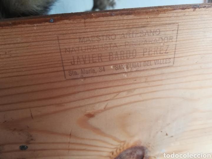 Vintage: Gineta disecada - jineta gato almizclero caza Taxidermia Sant Cugat decoración vintage cazador - Foto 40 - 155622372