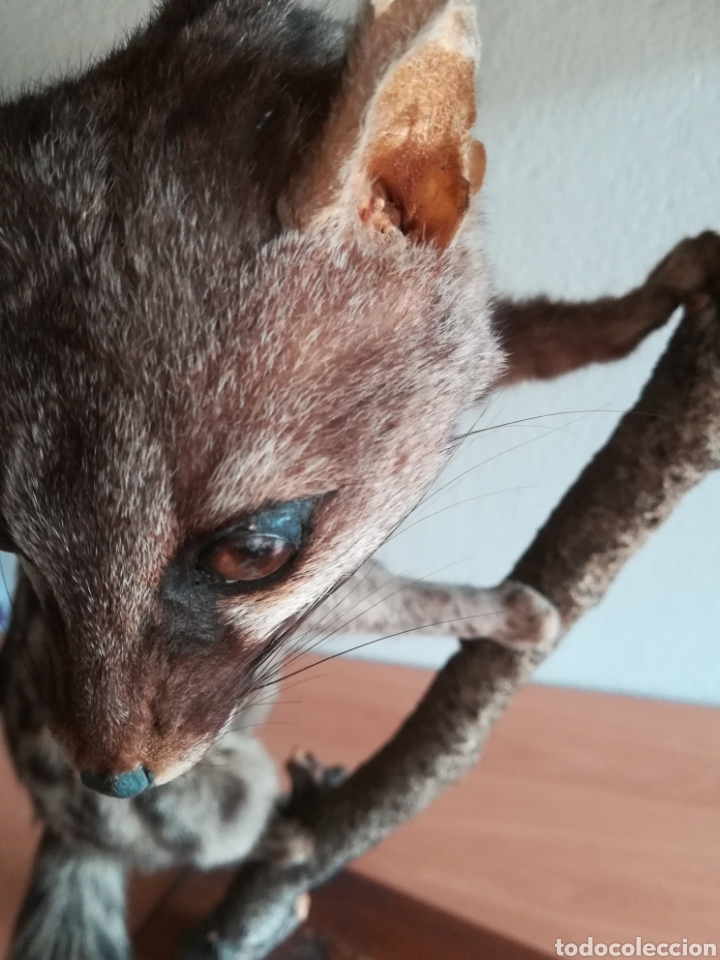 Vintage: Gineta disecada - jineta gato almizclero caza Taxidermia Sant Cugat decoración vintage cazador - Foto 41 - 155622372