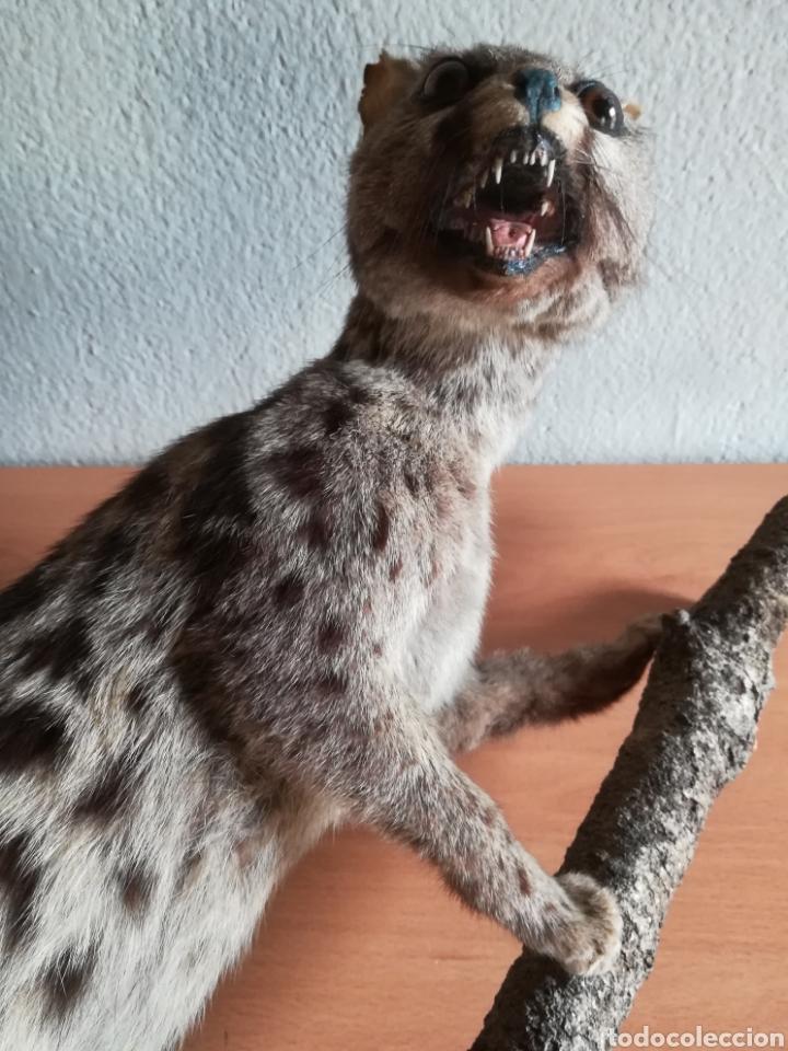 Vintage: Gineta disecada - jineta gato almizclero caza Taxidermia Sant Cugat decoración vintage cazador - Foto 45 - 155622372