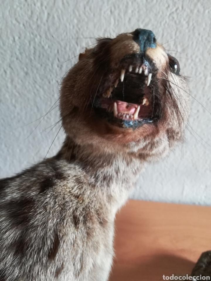 Vintage: Gineta disecada - jineta gato almizclero caza Taxidermia Sant Cugat decoración vintage cazador - Foto 46 - 155622372