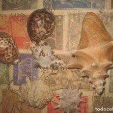 Vintage: LOTE CARACOLAS DIFERENTES TAMAÑOS DE MAR EXCELENTE ESTADO. Lote 194732318